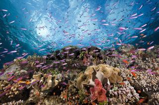 Fahnenbarsche in Korallenriff, Fidschi