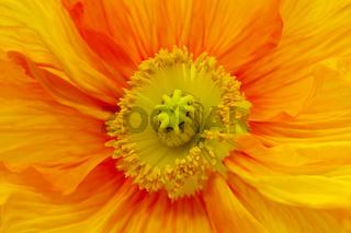 Orange Mohnblüte