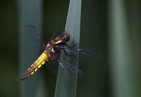 Flat bellied Dragonfly, Wahner Heide, Herfeld, NRW, Germany