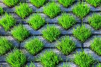 210610-224 Rasengittersteine Gras Rasen.jpg