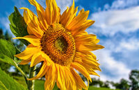 Blooming sunflowers against the blue sky