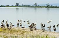 Greylag geese (Anser anser) on Lake Lange Lacke, Apetlon, Burgenland, Austria