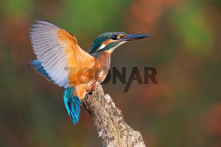 Common kingfisher landing on branch in summer from side