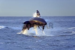 der Weisse Hai (Carcharodon carcharias), nach Beute jagend, Seal