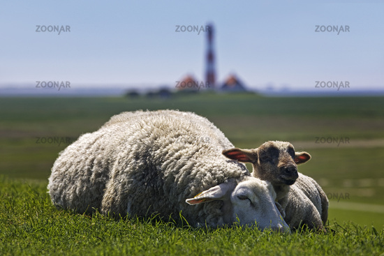 Sheep (Ovis gmelini aries) in front of the Westerhever lighthouse, North Frisia, Germany, Europe