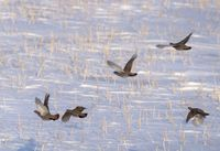 Partridge in Winter Flying