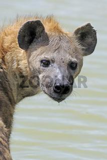 Tüpfelhyäne (Crocuta crocuta), Alttier baded im  Teich, Masai Ma