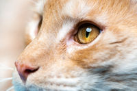 Extreme close-up portrait of red tabby Maine Shag Cat