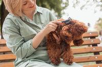 Female dog owner brushing Toy poodle's fur