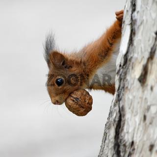 Eichhörnchen mit Walnuss auf einem Baum