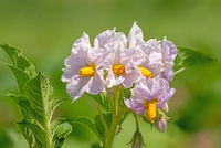 Close up of the flowers of the potato plant against a blurred green background