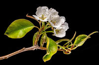 Detail shot of a branch of the pear tree with flowers, buds and leaves isolated on black