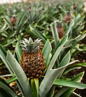 Azores Pineapple plantation at Sao Miduel, Portugal