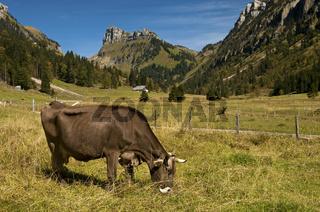 Schweizer Braunvieh Kuh grast auf einer Weide bei Püfel im Justistal