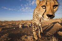 Male subadult Cheetah, Acinonyx jubatus, Kalahari Basin, Namibia