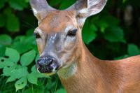 A close up shot of a deer face about to hunt
