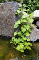 Herzförmige Houttuynie (Houttuynia cordata), Molchschwanz oder Eidechsenschwanz, Kultivar am Gartenteich