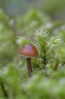 Small brown mushroom surrounded by moss