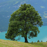 Old sycamore maple tree growing above Lake Brienzersee.