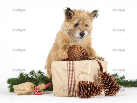 Cairn Terrier with gifts