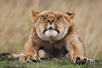 Lion , Masai Mara, Kenya