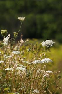 White wildflowers in summer fields