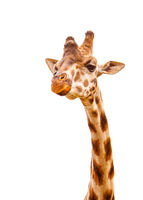 Close up shot of giraffe head isolated on white
