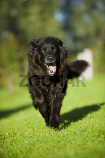 Alter Hund