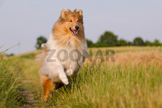 Collie in Bewegung