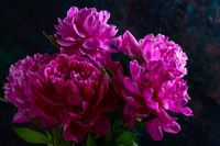 Pink peony flowers in the dark background.