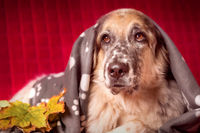 Big Dog under the Blanket and autumn leafs