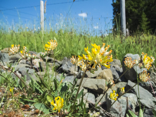 Anthyllis vulneraria Wundklee by pasture fence