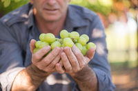 Man holding bunch of white grapes in hands