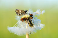 grizzled skipper on blowball