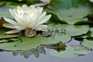 Teichfrosch, Pelophylax esculentus, common water frog