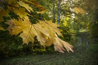 Yellow maple leaves in a birch grove a
