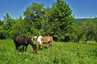 Pferde auf der Weide, Schwäbische Alb, Deutschland