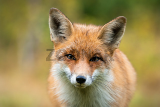 Beautiful portrait of red fox having eye contact with camera with autumn colours
