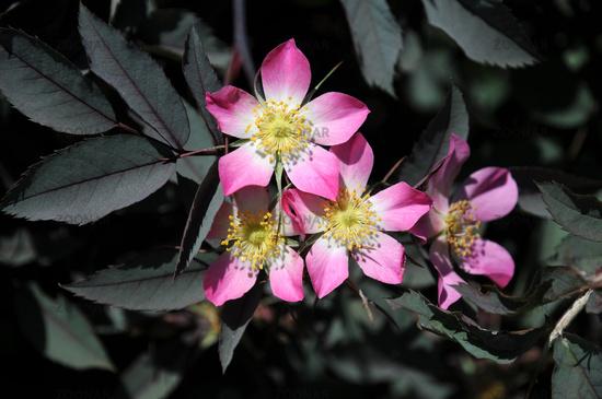 Purple-Leaved Rose