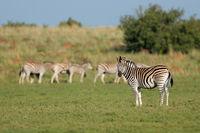 Herd of plains zebras (Equus burchelli) in natural habitat