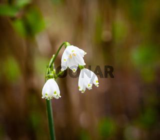 Three spring snowflake blooms