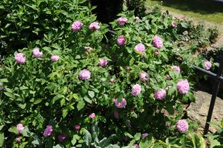 Rosa damascena Jacques Carthier, Damaszener Rose