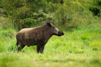 Adult wild boar with big snout standing in tranquil green forest