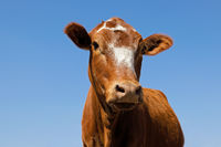 Low-angle portrait of a  free-range cow on a rural farm
