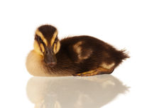 Domestic duckling