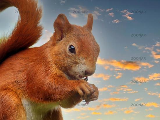 Red squirrel feeding bird seed