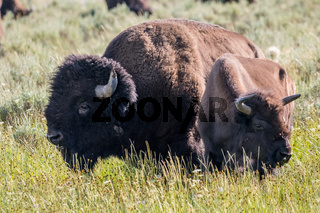 American Bison in the field of Yellowstone National Park, Wyoming