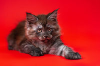Beautiful young female pussy American Forest Coon lies with outstretched paw on red background