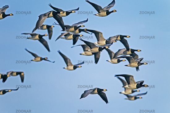 Barnacle Goose swarm of birds during the fall migration