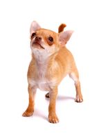 Chihuahua Puppy High-looking